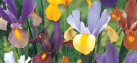 Irises from Dutch Treat Collection