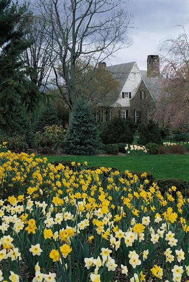 Naturalizing with Daffodils
