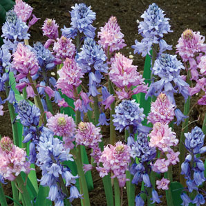 Spanish Blue and Pink Bells
