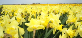 Dutch Daffodil Fields
