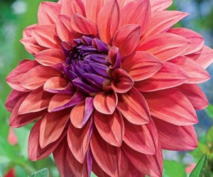 All about Planting Dahlias - The Official Blog of Breck\'s The ...