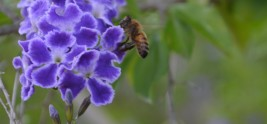 Bee on Phlox