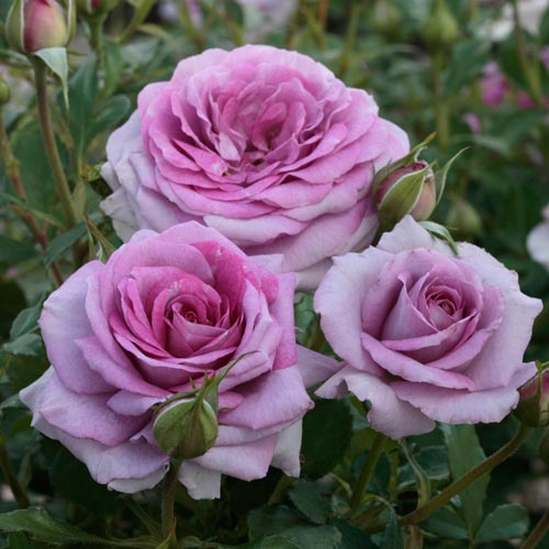 We think the Dowager Countess of Grantham would love the sweety-but-spicy fragrance of this rose.