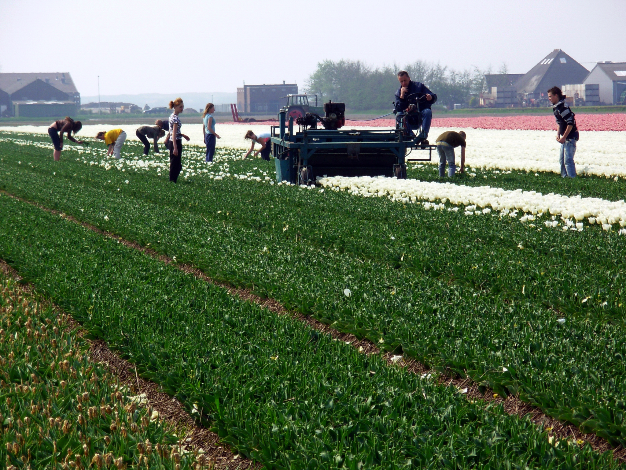 Workers top tulips in a grower's field in Hillegom, Holland.