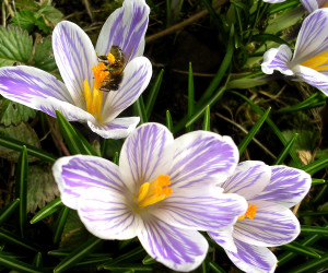 Early spring blooms for attracting bees the official blog of gardeners arent the only ones eager for those first spring blooms after a long winter bees are beginning to look for spring flowers to offer nourishment mightylinksfo