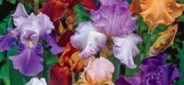 http://www.brecks.com/product/Reblooming_Tall_Bearded_Iris_Mixture/Iris_Perennial_Plants