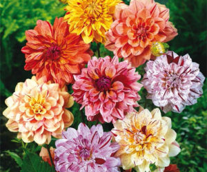 Types of Dahlias - The Official Blog of Breck\'s The Official Blog of ...